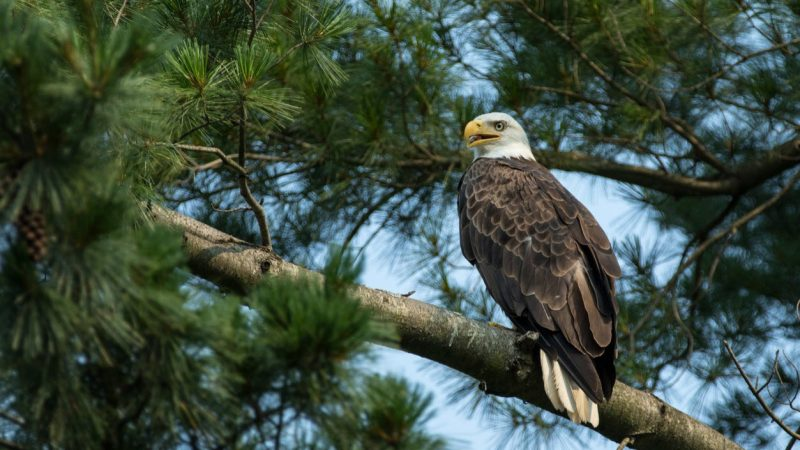 Bald Eagle Bullying: Power Differential and Vulnerability in the Animal World
