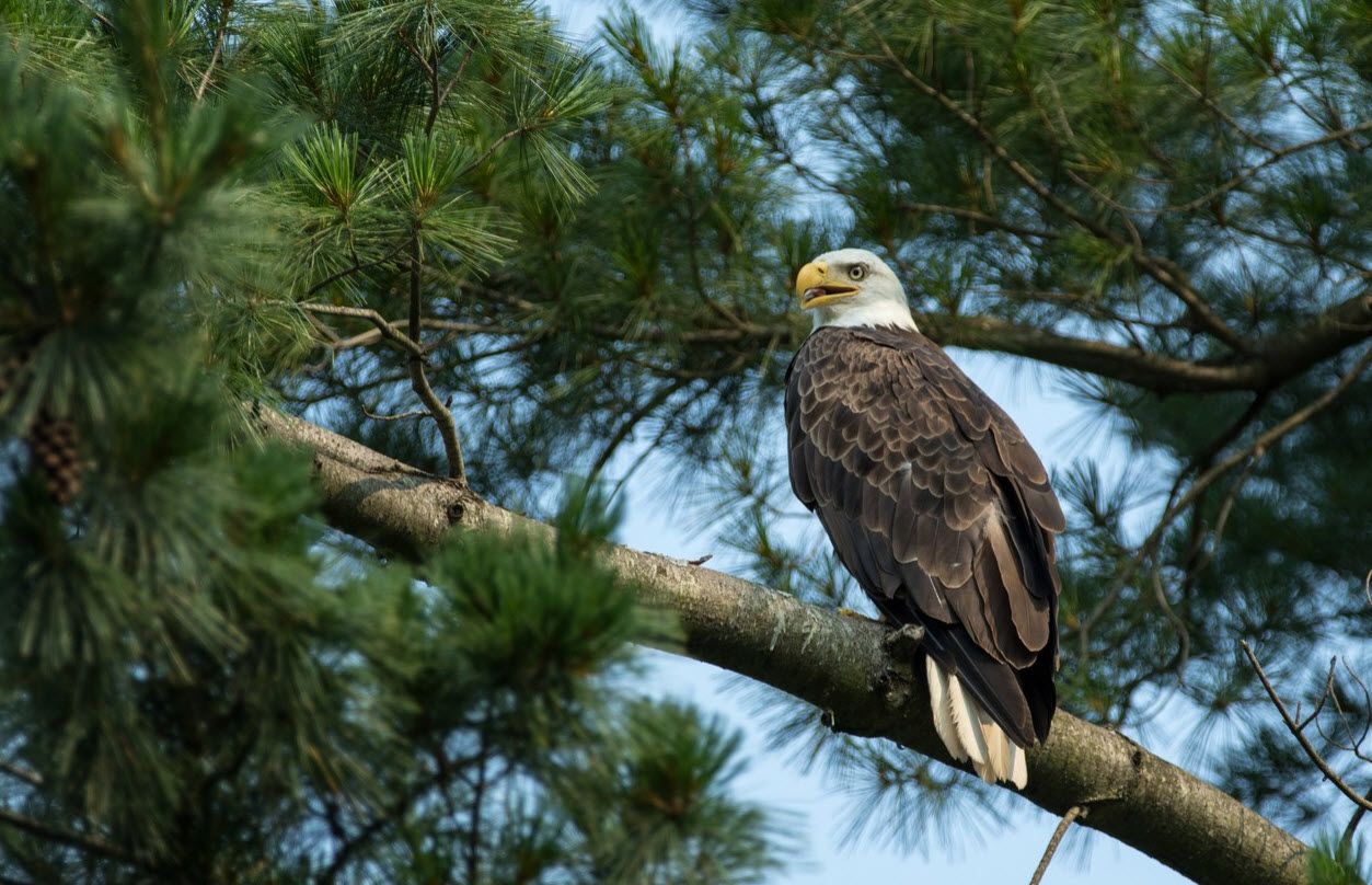 Bald Eagle Bullying: Power Differential and Vulnerability in the Animal World Cyberbullying Research Center